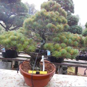 5501 Jap White Pine